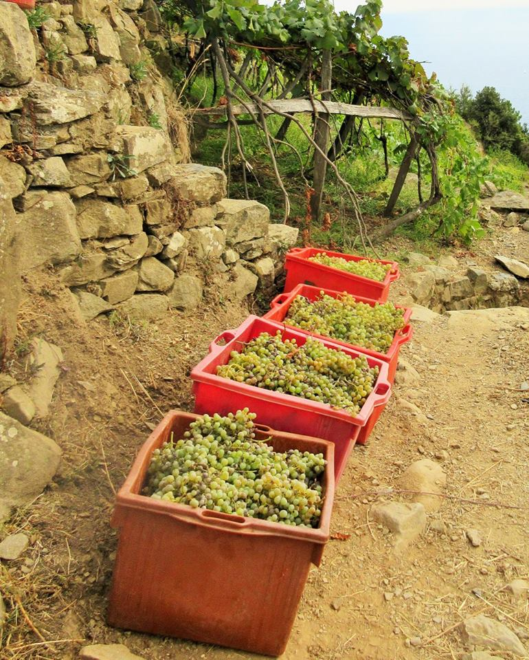 Manarola grapes